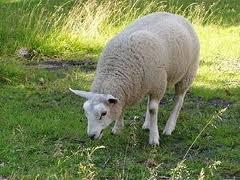 Politie+pakt+2+schapendieven+op