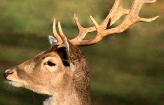Ruim baan voor groot wild in Drenthe