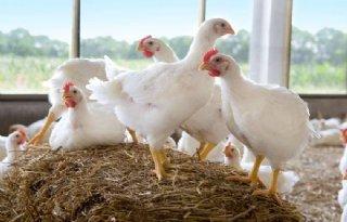 Markt+werkt+niet+voor+duurzame+kip