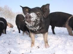 Livar+zoekt+nieuwe+varkenshouders
