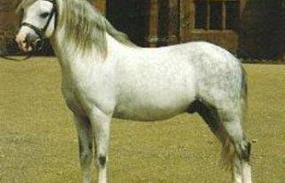 Pony in weiland toegetakeld