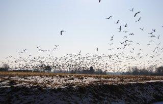 Boeren blij met ganzenbesluit Overijssel