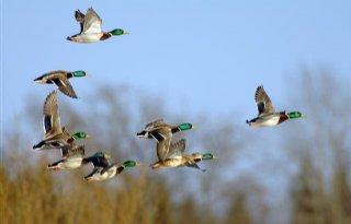 Vogelgriep UK ook H5N8