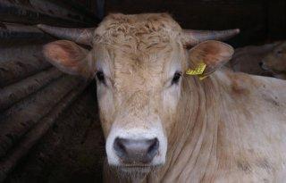 Stijging+prijs+rundvlees+verwacht