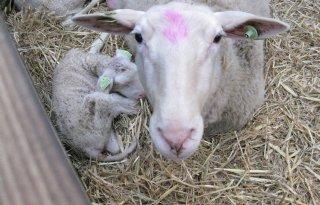 Europees+lamsvlees+gaat+online