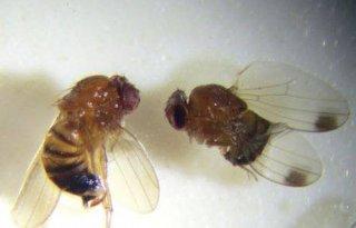 Schadelijke fruitvlieg ook in Nederland (video)
