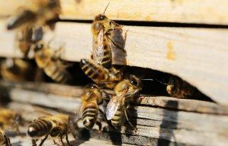 Nieuw onderzoek wijst op relatie glyfosaat en bijensterfte