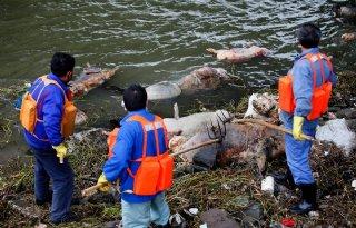 China%3A+boer+dumpte+varkens+in+rivier