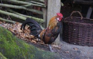 Meer kippen en hanen gedumpt in Utrecht