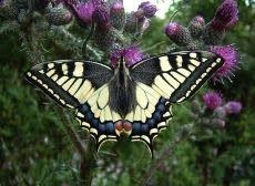 Koninginnenpage+mooiste+vlinder