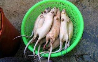 Bende maakt schapenvlees van ratten