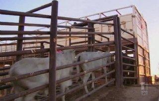 Australi%C3%AB+staakt+export+vee+naar+Egypte
