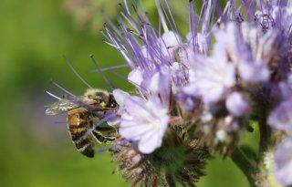 Meer+aandacht+voor+economisch+belang+bijen