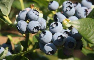 Blauwe+bessen+zijn+gezond