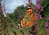 Europese+vlinderstand+halveert+in+22+jaar