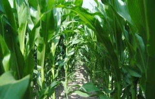 53 tot 60 ton maïs met strokenteelt