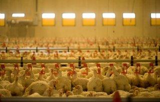 Goed+rendement+vleeskuikenbedrijven