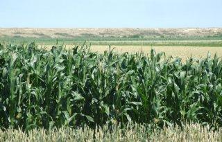 Ma%C3%AFs+en+gras+ook+in+toekomst+voergewassen