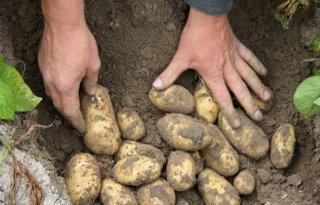 Groeispurt+aardappelen+in+Belgi%C3%AB