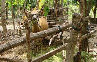 %27Over+vier+jaar+geen+koe+meer+in+Indonesi%C3%AB%27
