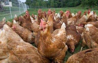 Frankrijk+pakt+vogelgriep+strenger+aan