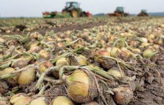 Nederlandse ui weer in Indonesische nasi