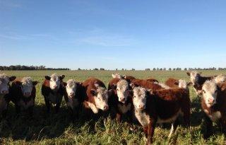 Boeren bij Marrum brengen vee binnendijks