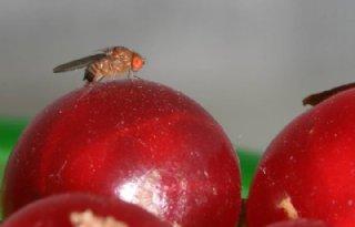 Jojo-effect heeft weinig invloed op fruitvlieg