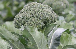Onderzoek%3A+broccoli+goed+tegen+autisme