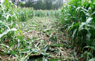 Zwijnenplaag op akkers Brabantse boeren