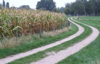 PPO: geen paniek 'nieuwe' maïsschimmel