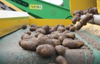 BAI: 70 procent aardappelen gerooid