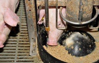 Rabo%3A+positieve+maanden+varkenshouderij
