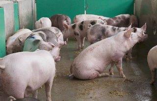 Nog+zeker+4+jaar+dierrechten+varken+en+kip