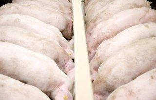 Belgen+willen+varkens+lichter+slachten