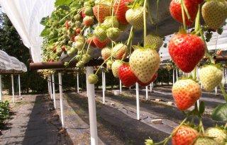 Aardbeienplantje+meet+fijnstof+in+Antwerpen
