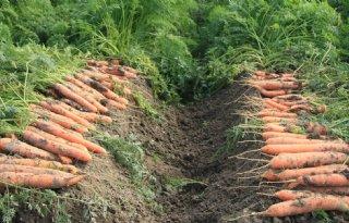 Quality+Carrot+Centre+voor+peenonderzoek