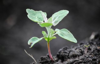 Nieuwe+herbicide+sterk+op+melde+en+grassen