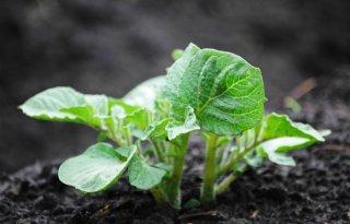 Veel aardappelopslag in volggewassen