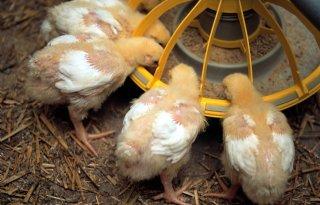 Agrifirm+scheidt+hanen+en+hennen