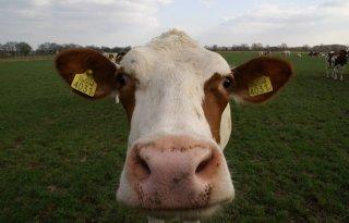Meer+koeien%2C+varkens+stabiel