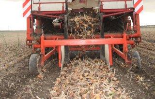 Bijna driekwart uien al afgeleverd
