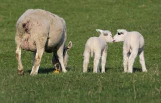 Wolf+doodt+schapen+in+Groningen