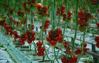Van+Bree%2DRijks+breidt+tomatenteelt+uit