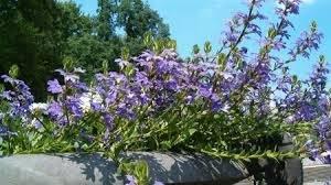 Monarch+beschikbaar+voor+zomerbloemen