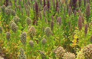 Teelt quinoa start in Nederland