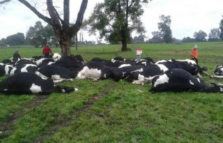 Bliksem doodt 64 koeien in Chili