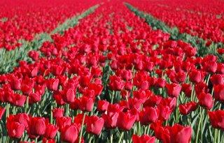Tulpenareaal dijt met 270 hectare uit