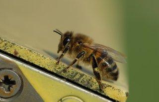 Nieuwe+bijenparasiet+in+Europa