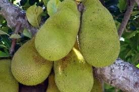 Jackfruit+alternatief+voor+tarwe+en+granen